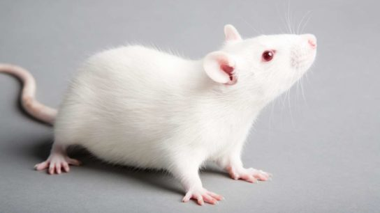 Fructose More Toxic Than Table Sugar in Mice