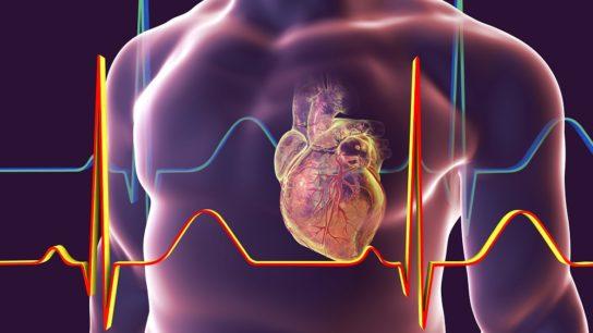 Heart, coronary system, cardiovascular
