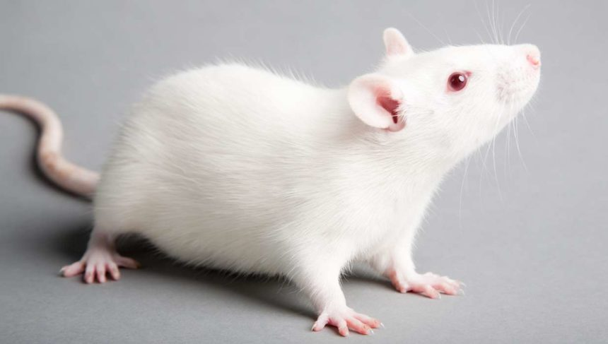 Sugar Toxic to Mice in 'Safe' Doses